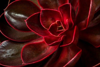 Crimson Succulent
