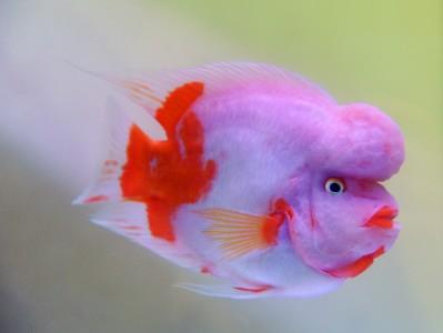 Elvis Fish
