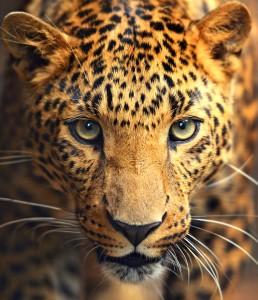 Spotty Leopard Stare