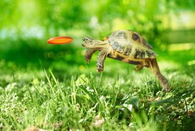 Frisbee Turtle