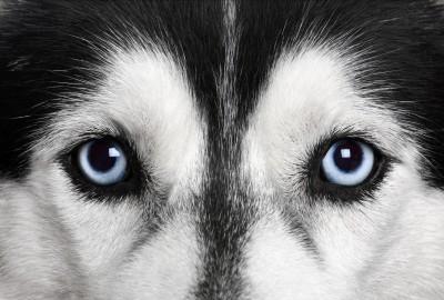 Husky Blue