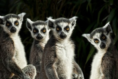 Lemur Gang